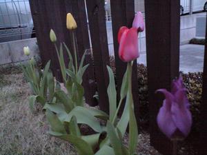 チューリップが咲いたよ♪