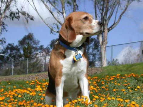 Beagle_640.jpg