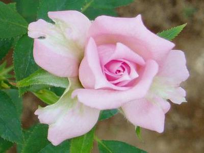 宇宙のバラ