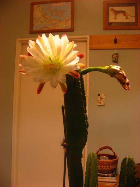 サボテン開花