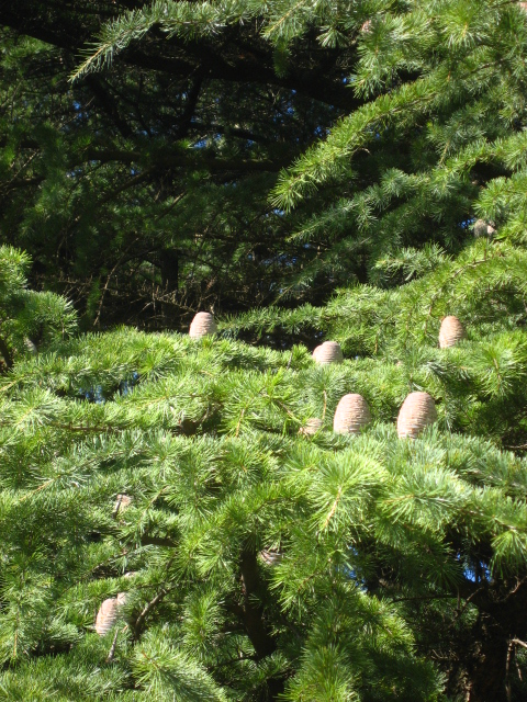 ヒマラヤ杉の松かさ