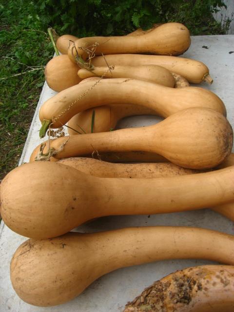 バターナッツかぼちゃのようなかぼちゃ