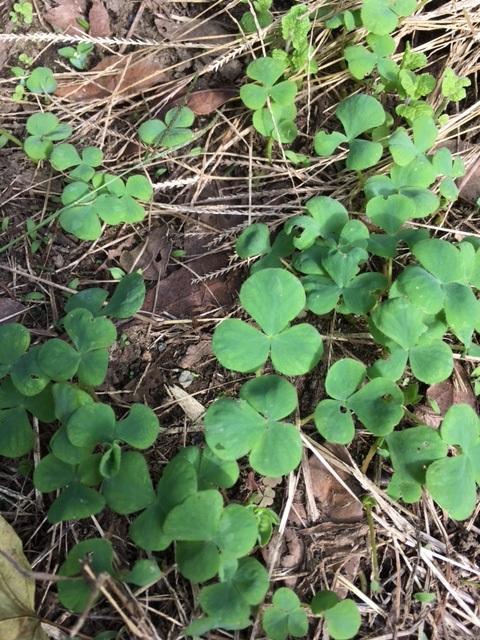 オキザリスの芽