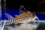 leopardus_tiger_02_02.JPG