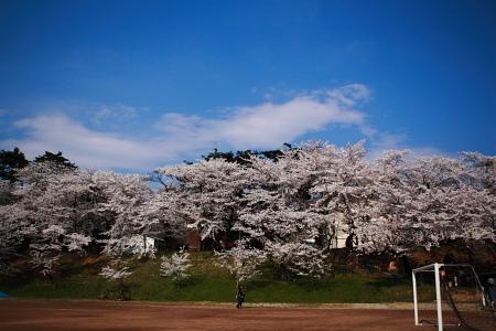 快晴で桜が満開。