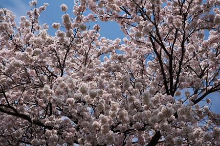 桜はきれいです。