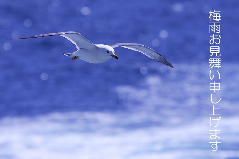 日本海の海猫