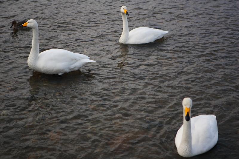 上山の白鳥