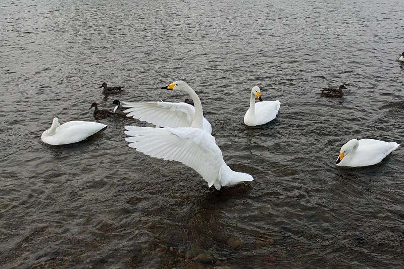 力強く羽ばたく白鳥