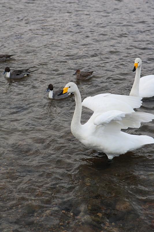 綺麗な白鳥です。