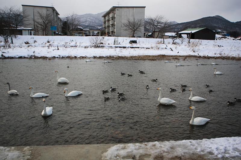 上山市金生に越冬中の白鳥