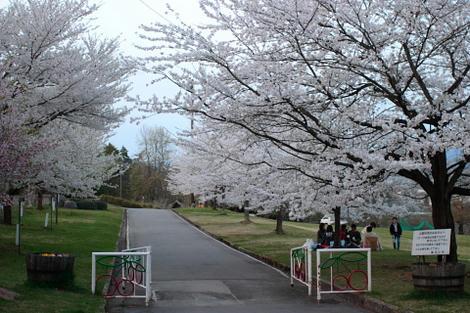 樹齢の若い元気な桜が綺麗に咲いてます。長岡山
