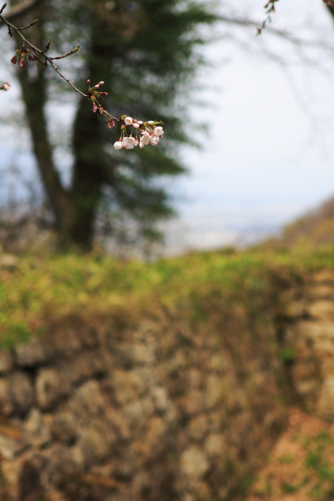 臥牛山の桜