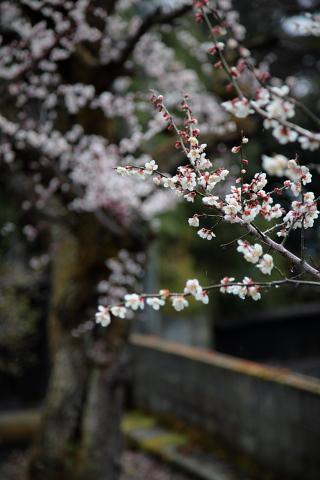 桜が一気に咲きました。
