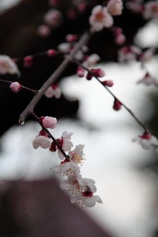 タガマヤ村の桜