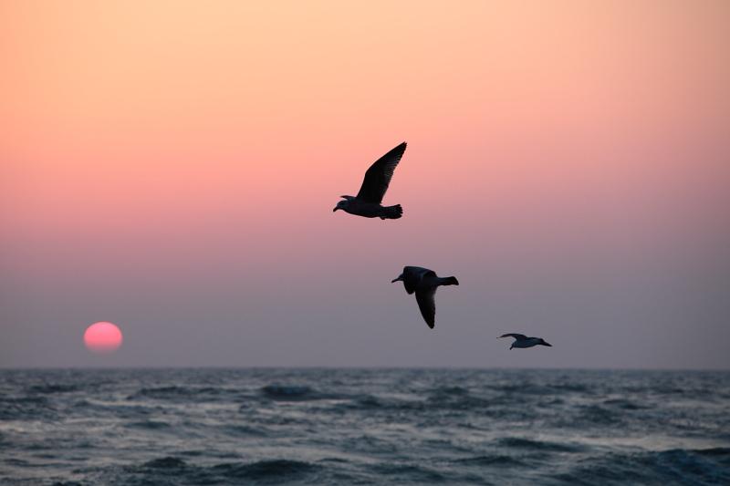 ウミネコの飛行訓練