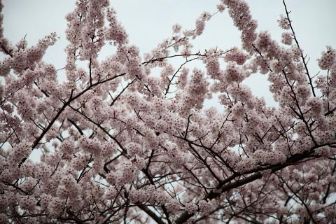 能代公園の桜 5/3