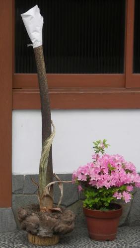 konyaku06.jpg
