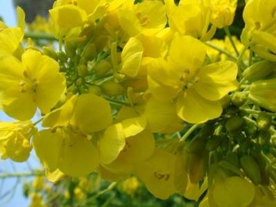 菜の花です!