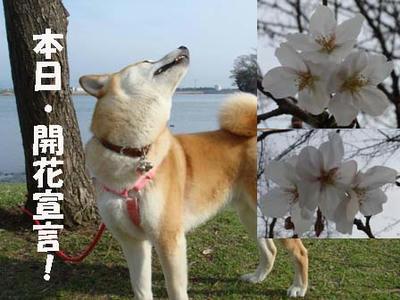やっと、桜が咲きました!