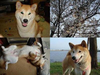 桜は順調に開花!幸太郎も好調!