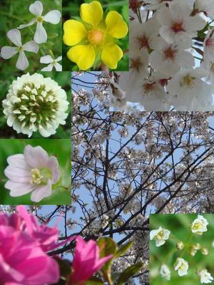 桜・ツツジ・野草が咲き誇っています!
