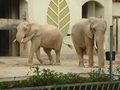 アフリカ象さんです!