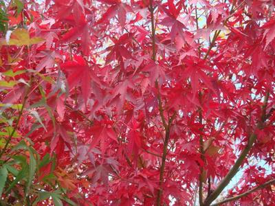 高森の紅葉です!