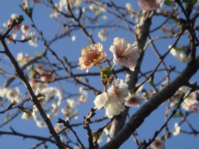 ○桜?が咲いています!