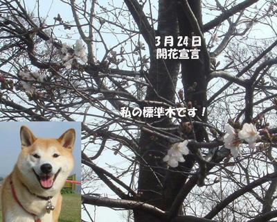 桜の開花宣言です!
