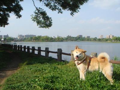 上江津湖の遊歩道から!