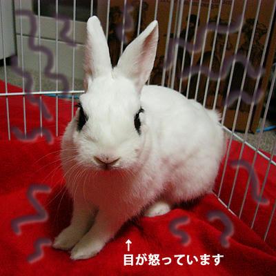 怒りウサギ