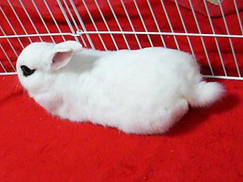 ウサギの尻尾は丸くない