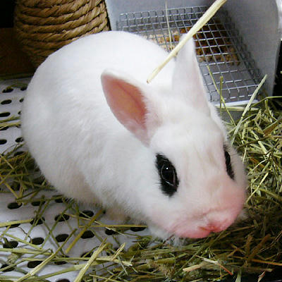 ドロボウウサギ