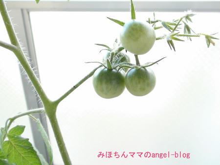 菜園・プチトマト