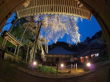報本寺のしだれ桜1