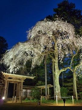 報本寺のしだれ桜3