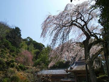 報本寺のしだれ桜4