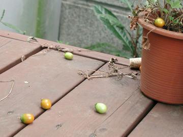 落下トマト1