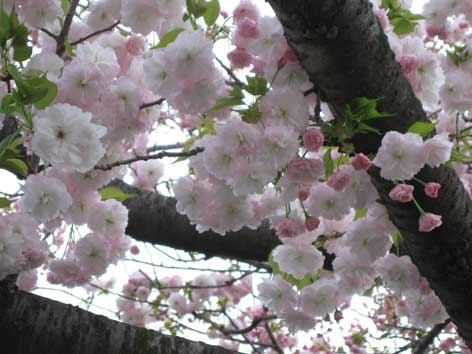 20120419yaezakura.jpg