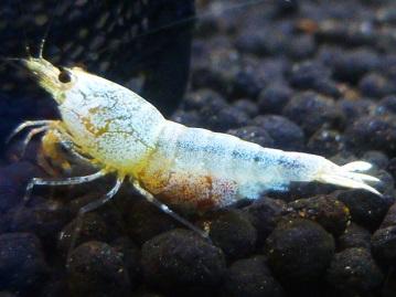Beestスノーファンシーシュリンプ抱卵個体