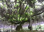でかい藤(紫)