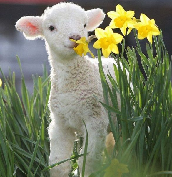 Baby Lamb Spring Flowers : 羊 かわいい 写真 : すべての講義