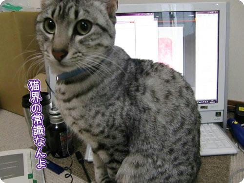 かなめ×ぶろぐ1404【猫界の常識!】