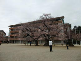 桜真鍋小2