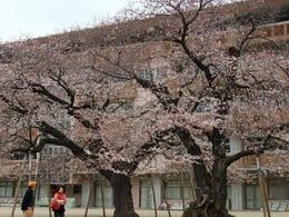桜真鍋小3