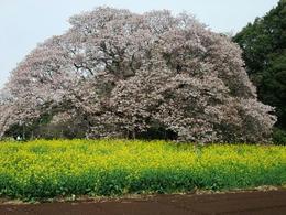 吉高の桜2