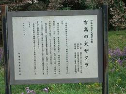 吉高の桜説明