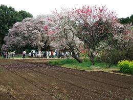 吉高の桜裏