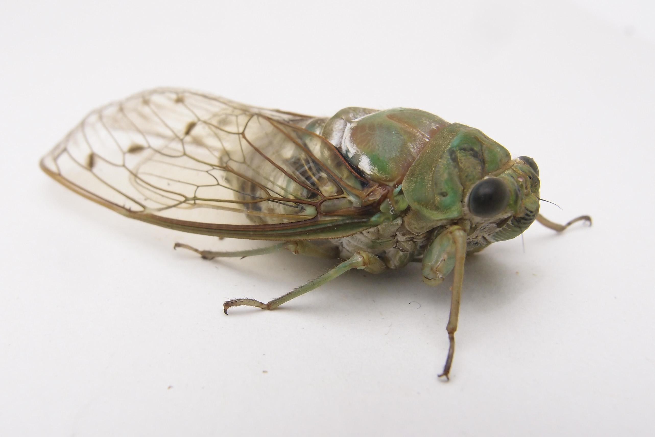蟲ソムリエへの道 味見:セミ成虫食べ比べ